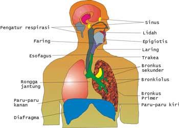 Organ-Organ Sistem Pernafasan