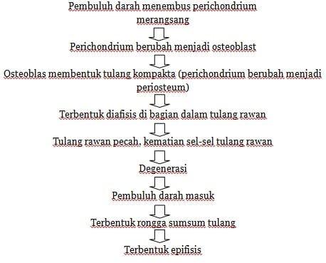 Osifikasi endokondral