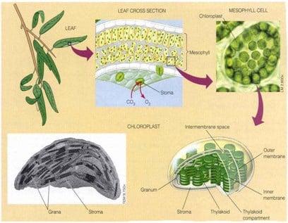 Proses-Fotosintesis-Pada-Tumbuhan