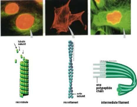 lembar-lembar jaringan epitel