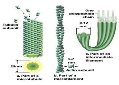rangka, pergerakan, cytosis, transpor dan pembelahan