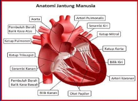 Anatomi-Jantung-Manusia