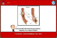 Gerak-Peristaltik-Pada-Sistem-Pencernaan-Manusia