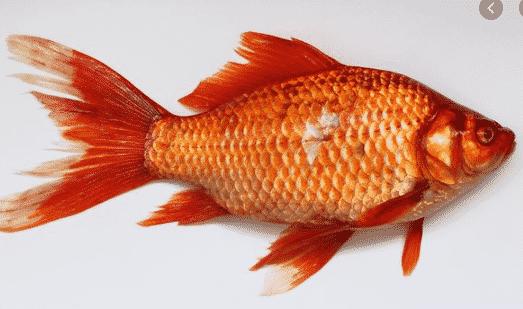 Ikan Air Tawar Pengertian Ciri Jenis Beserta Macamnya