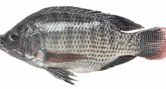 Ikan-Air-Tawar