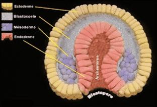 Lapisan germinal embrio