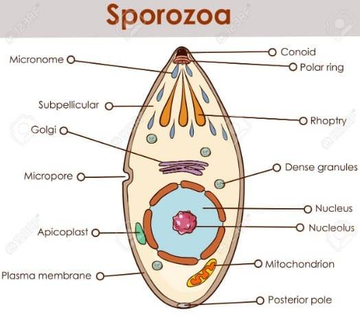 Sporozoa-Adalah