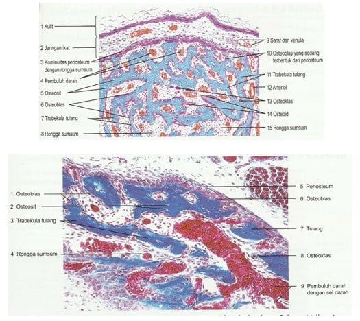 Struktur histologi mandibula