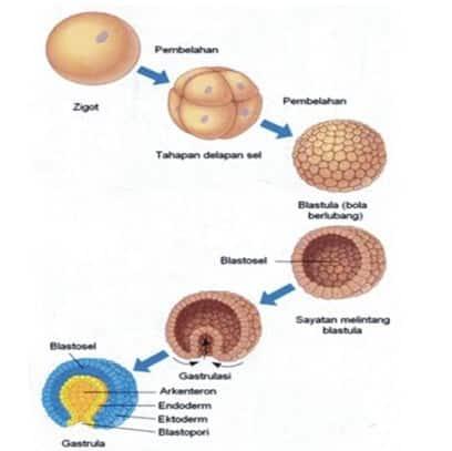 Tahap pasca perkembangan embrio