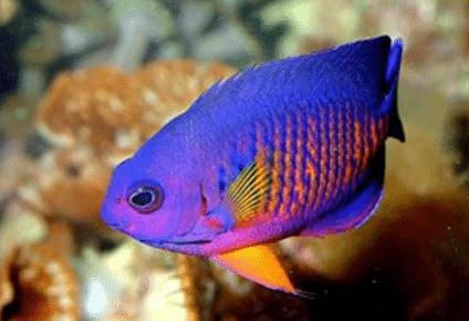 Jenis Ikan Hias Air Laut Penyebara Alat Penangkapnnya