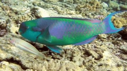 Jenis-Ikan-Hias-Air-Laut