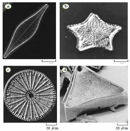 Bacillariophyta (Diatom)