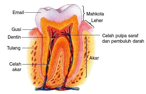 Bagian-Bagian-Gigi