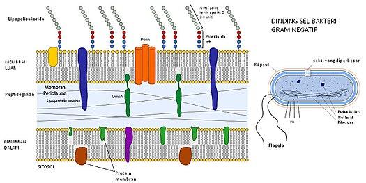 Bakteri-Gram-Negatif