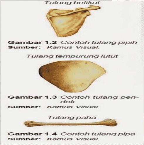 Bentuk-Dan-Ukuran-Tulang