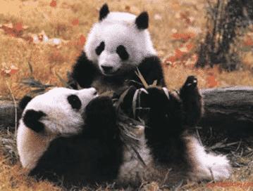 Beruang-Panda