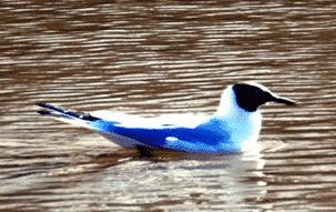 Burung-Biru