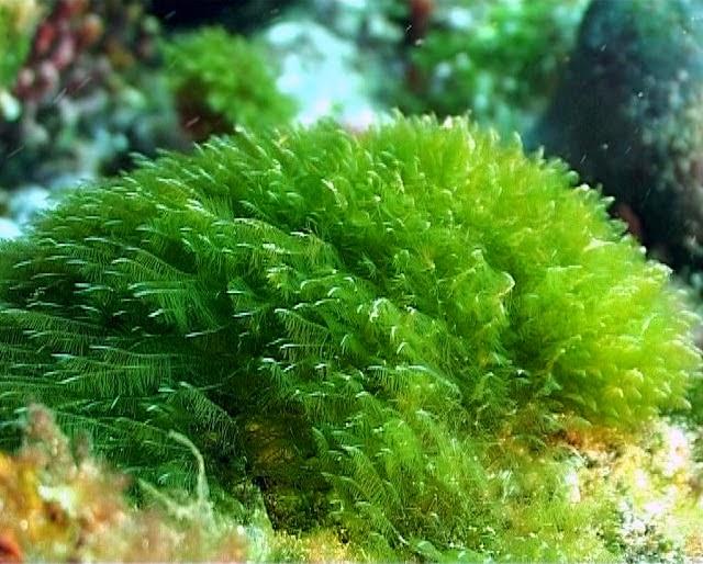 Chlorophyta (ganggang hijau)
