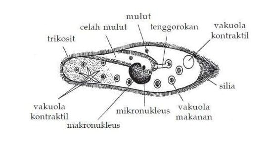 Ciliata (Ciliophora)