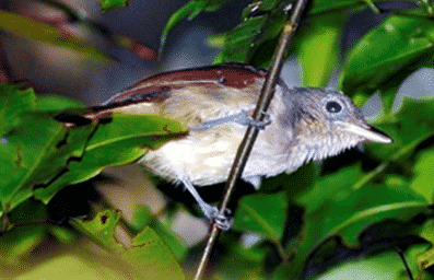 Colluricincla-sanghirensis