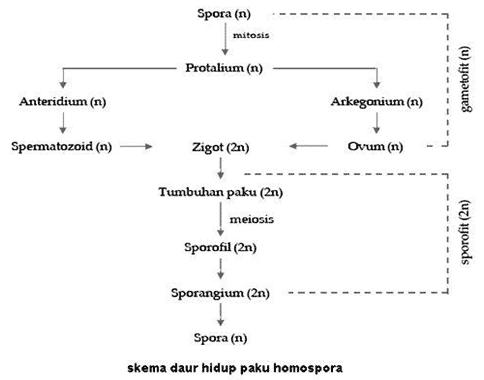 Daur-Hidup-Paku-Homospora