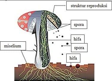 Fisiologi-Jamur