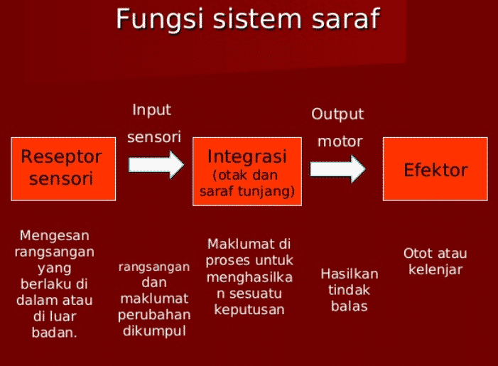 Fungsi-sistem-saraf