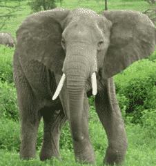 Gajah-Afrika