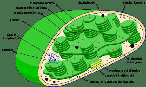 Plastida