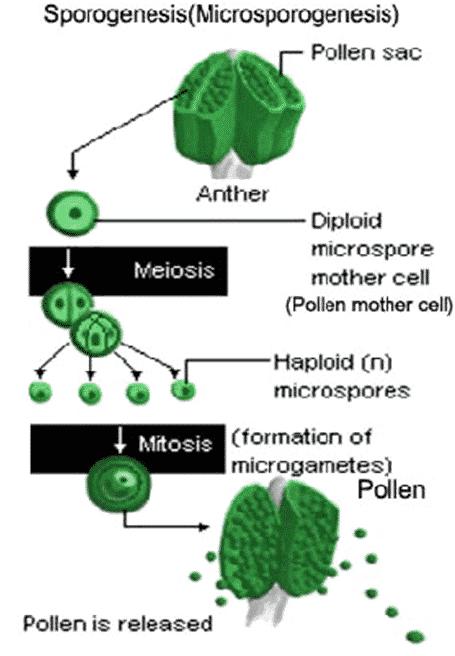 Gametogenesis-Pada-Tumbuhan