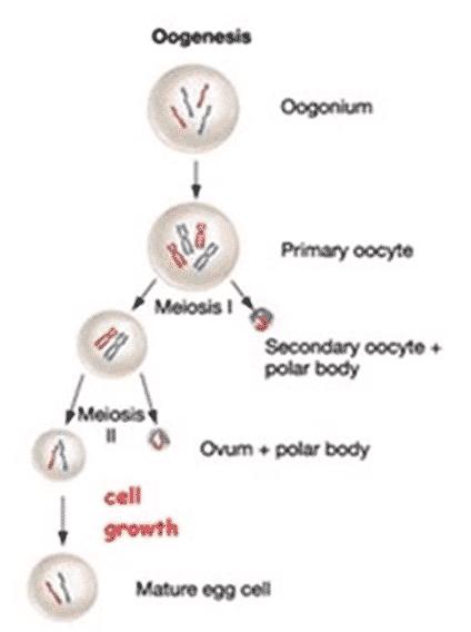 Gametogenesis-pada-hewan-betina