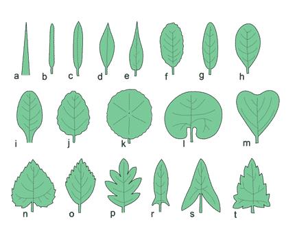 Morfologi-daun