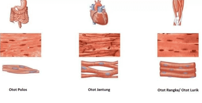 Pengertian-Otot