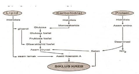 Pengertian-Siklus-Krebs