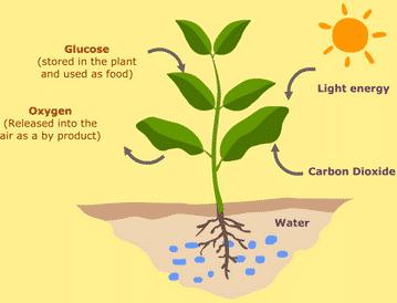 Peranan-Plastida-Pada-Proses-Fotosintesis
