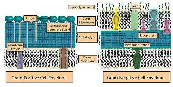 Perbedaan-Bakteri-Gram-Positif-dan-Negatif