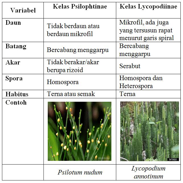 Perbedaan-Kelas-Pteridophyta