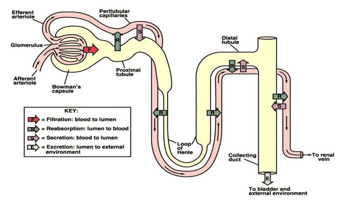 Proses-Pembentukan-Urin