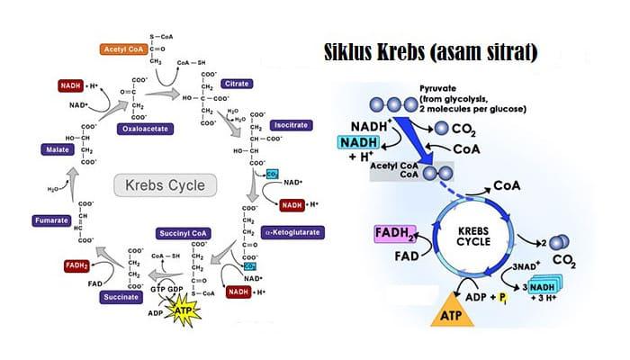 Reaksi-Siklus-Krebs