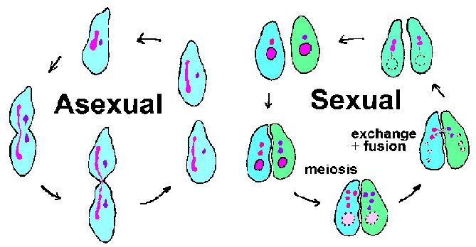Reproduksi Ciliata
