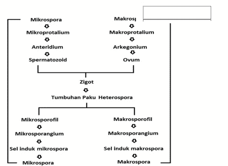 Selaginella-widenowii