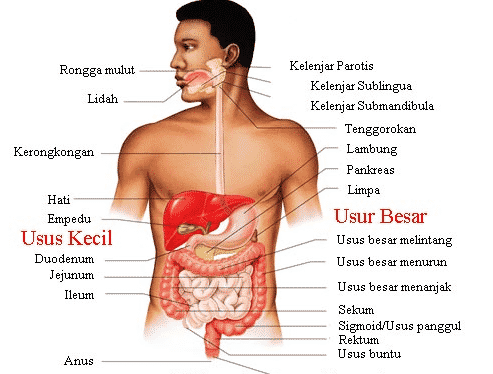 Sistem Organ Pengertian Fungsi Anatomi Gambar Contoh Tabel