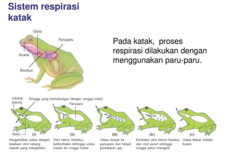 Sistem-Pernapasan-Pada-Amfibi