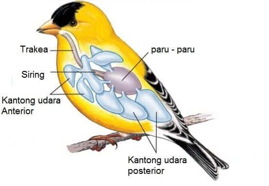 Sistem-Pernapasan-Pada-Aves