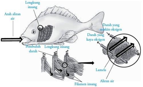 Sistem-Pernapasan-Pada-Ikan