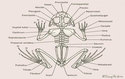Sistem-Rangka-Katak