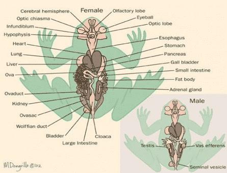 Sistem-Reproduksi-Katak