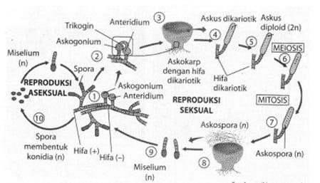 Spora-aseksual