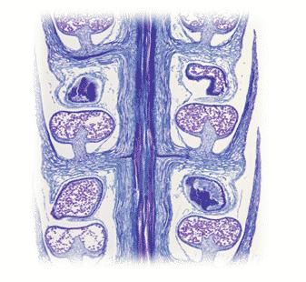 Spora-pada-Lycopodium