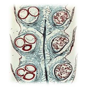 Spora-pada-Selaginella-widenowii